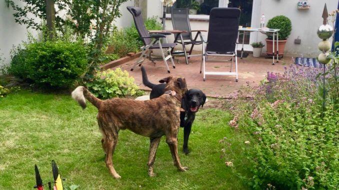 Nicht ganz entspannte Begegnung von zwei steifbeinigen Hunden in einem Garten im Hintergrund eine Terrasse mit Stühlen
