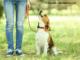 Beagle beim Spaziergang im Park