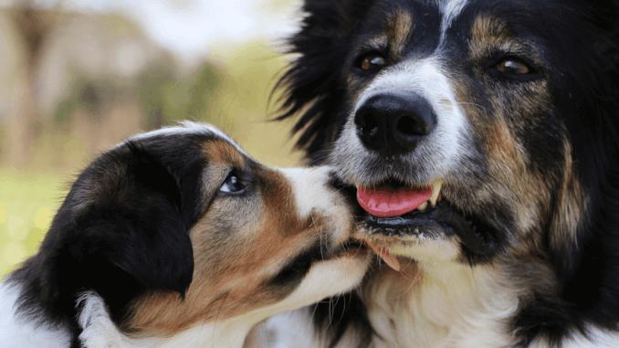 Border-Collie-Welpen mit ihre Mutter