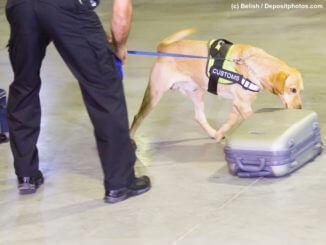 Heller Labrador mit Hundeführer schnüffelt Gepäckstücke am Flughafen ab.