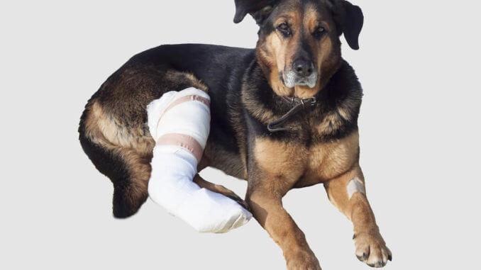 Schäferhundmix mit  bandagiertem Hinterbein