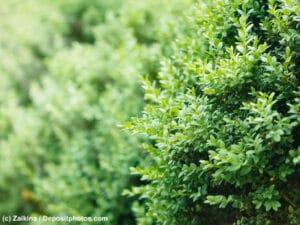 Buchsbaum wird oft in Gärten für Hecken oder als Zierbaum genutzt