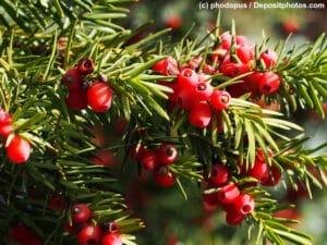 Eibe Nahaufnahme Zweig mit Blättern /Nadeln und Früchten/Beeren