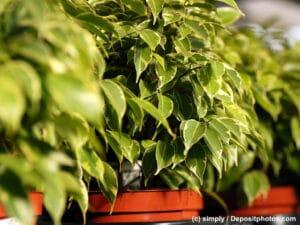Benjamin / Ficus in Töpfen in einer Reihe stehend vorne und hinten unscharf