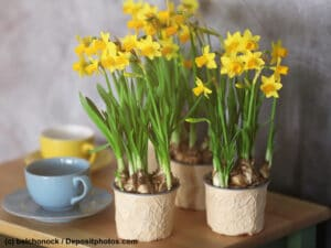 Narzissen Osterglocken in drei Töpfen neben zwei Tassen auf einem Tisch