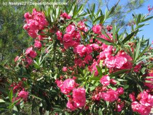 Oleander Busch mit rosafarbenen Blüten