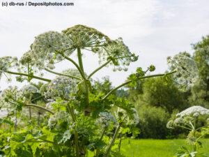 Riesen-Bärenklau blühende Pflanzen auf einer Weide