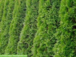 Thuja - eine beliebte Heckenpflanzen