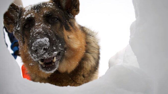 Schäferhund mit Schneenase schaut durch Loch im Schnee /