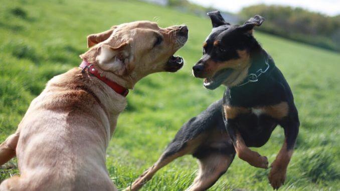 Hunde in Action beim wilden Spiel auf einer Wiese