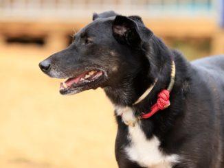 Portrait eines schwarzen Hund mit grauer Schnauze und weißer Brust