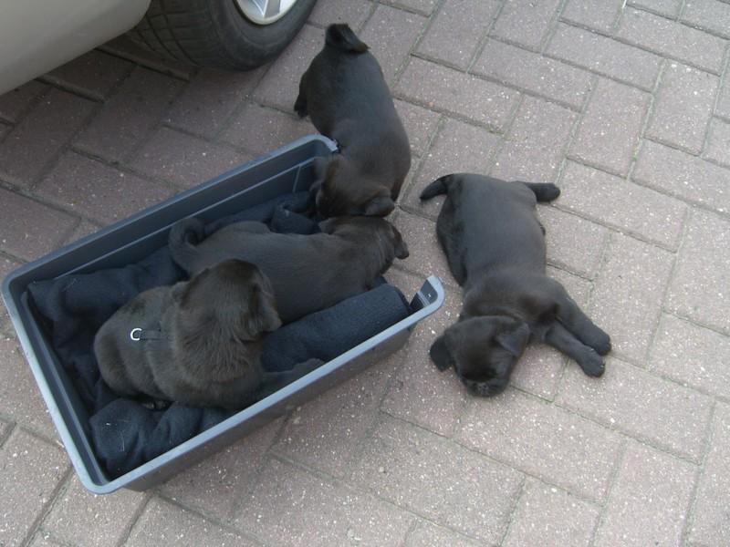 Wie alle Hundebabies sind auch Möpse am Anfang ihres Lebens sehr verspielt und verschmust