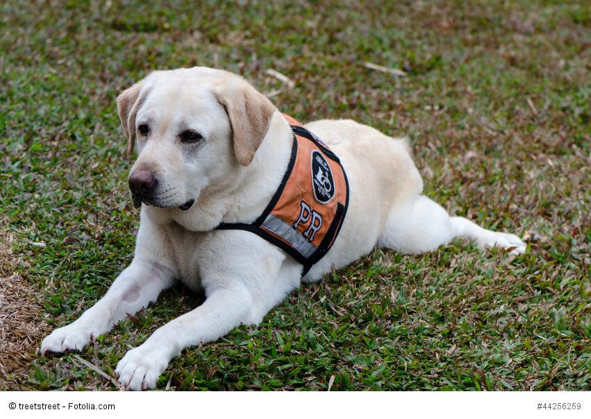 Blindenhund in der Ausbildung