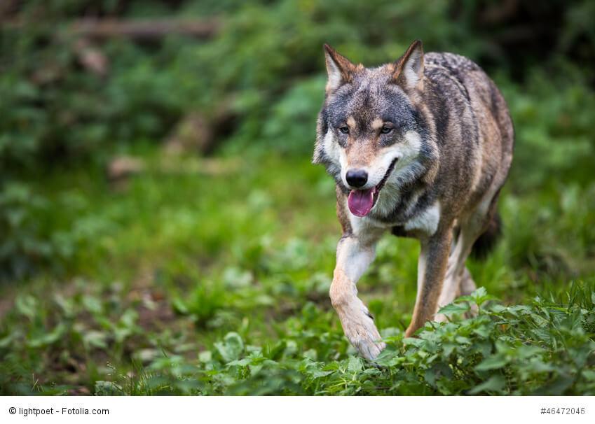 Wölfe sind die Vorfahren der heutigen Haushunde