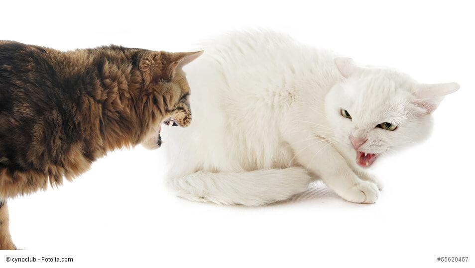 Streitende, wütende Katzen