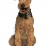 Welsh-Terrier