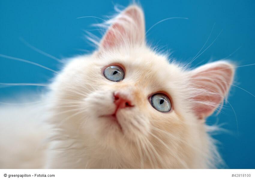 Kitten einer weißen Halblanghaarkatze vor blauem Hintergrund