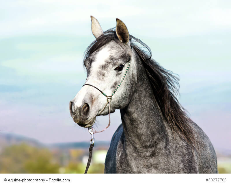 Arabische Vollblüter gelten als die edelste Pferderasse