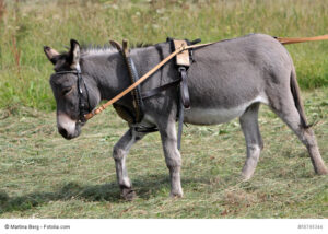Esel als Lasttier