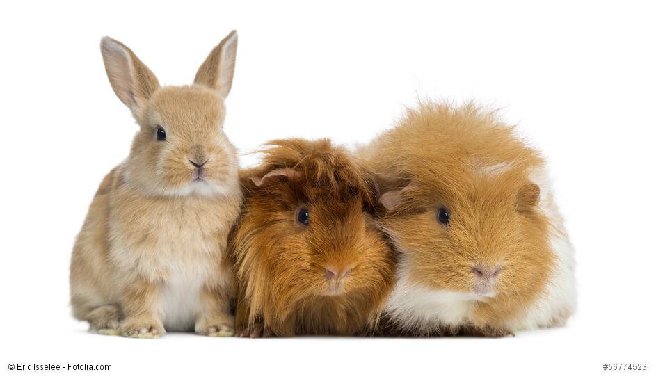 ein Kaninchenbaby und zwei Meerschweinchen sitzen vor einem weißen Hintergrund
