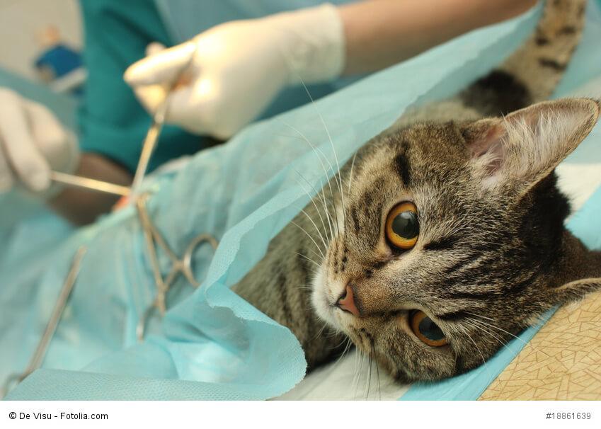 Katze während einer Operation