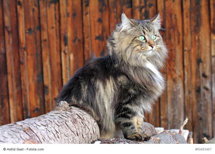 Norwegische Waldkatze auf Baumstämmen