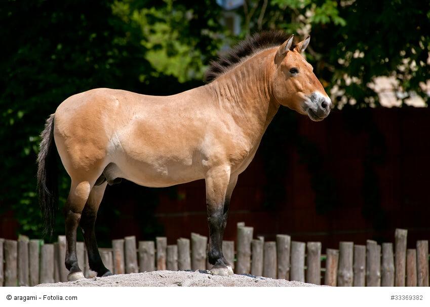Przewalski-Pferd im Zoo in Kiev