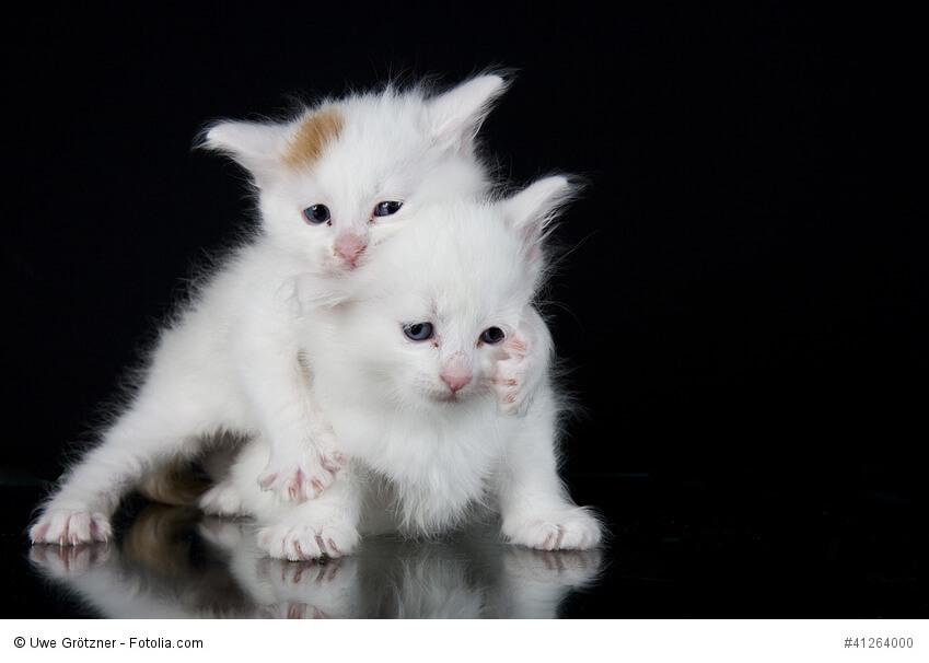 2 spielende Kitten Türkischer Angorakatzen
