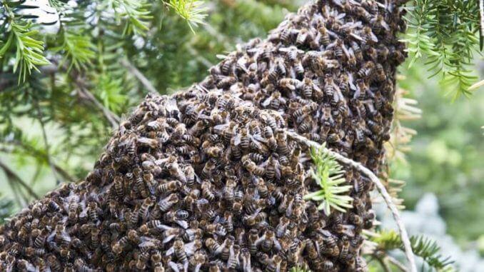 Bienenschwarm im Garten
