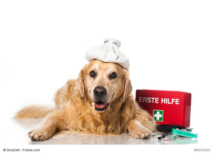 Ein Golden Retriever mit einem Coolpack auf dem Kopf und einem Erste-Hilfe-Kasten neben den Pfoten