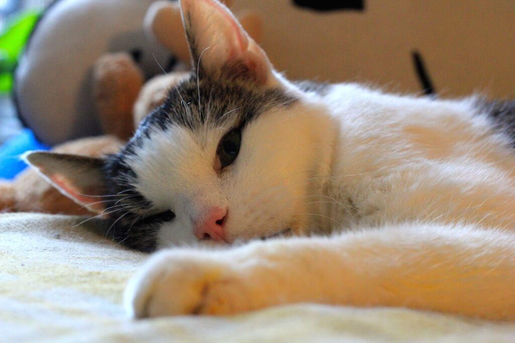 Ein Kater liegt entspannt auf einer Decke