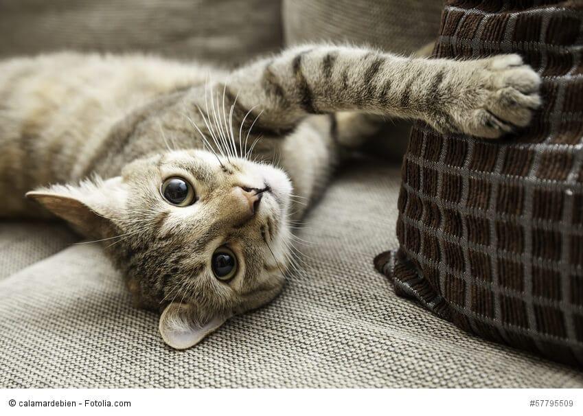Eine Katze wollt auf einem Sofa herum