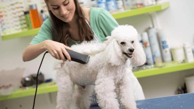 Kleinpudel weiß bekommt Haarschnitt