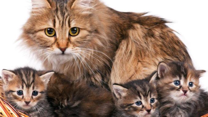Norwegische Waldkatze sitzt mit drei Kitten in einem Weidenkorb
