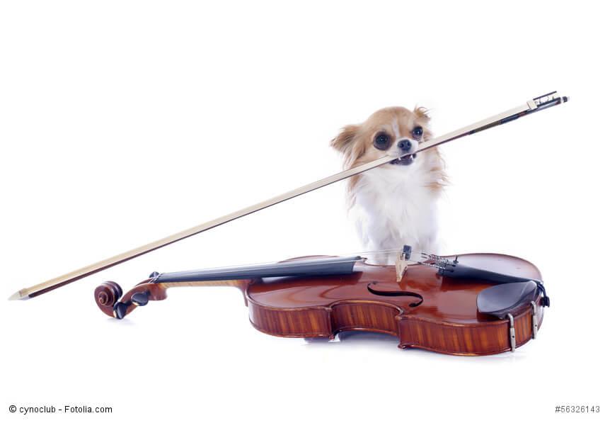 Ein Chihuahua mit einer Violine vor weißem Hintergrund