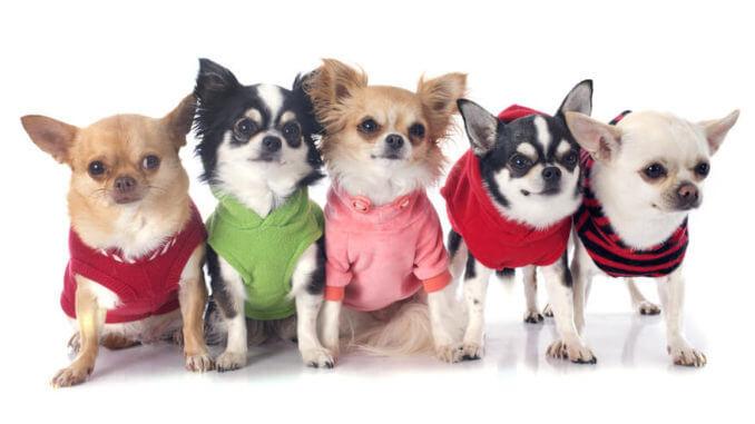 So kennt man Chihuahua: als Schosshunde herausgeputzt