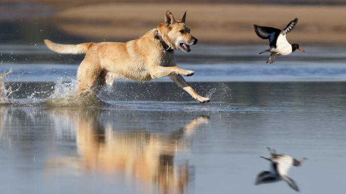 Ein Hund jagt einen Wasservogel