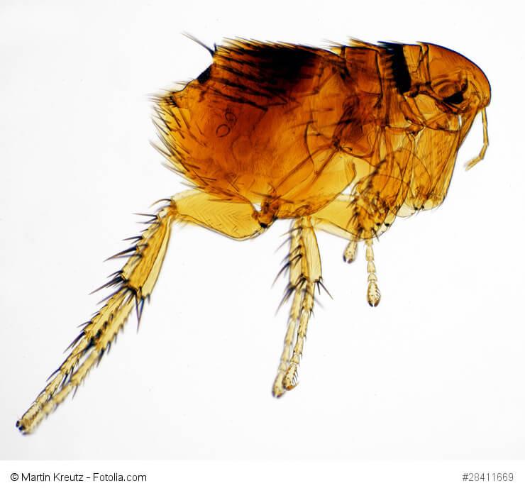 Der Hundefloh Ctencephalides canis unter dem Mikroskop