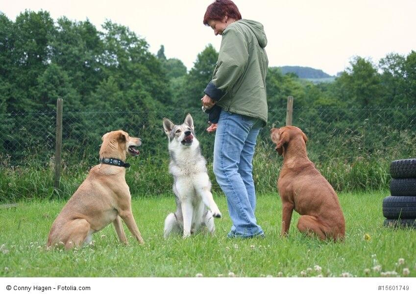 Um einen Hundetrainer sitzen aufmerksam drei Hunde