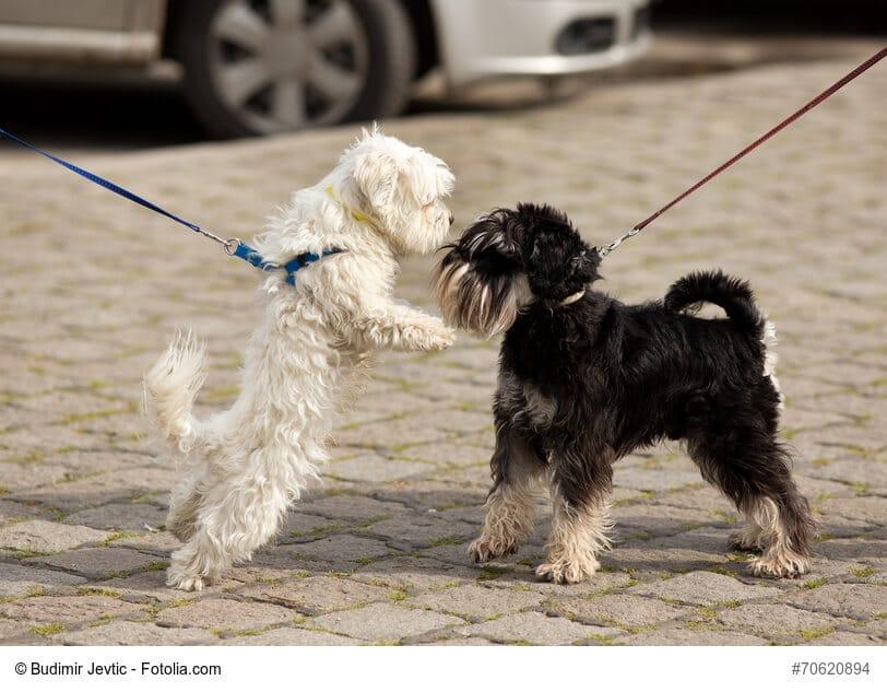 Zwei Hunde an der Leine beschnüffeln sich aufgeregt