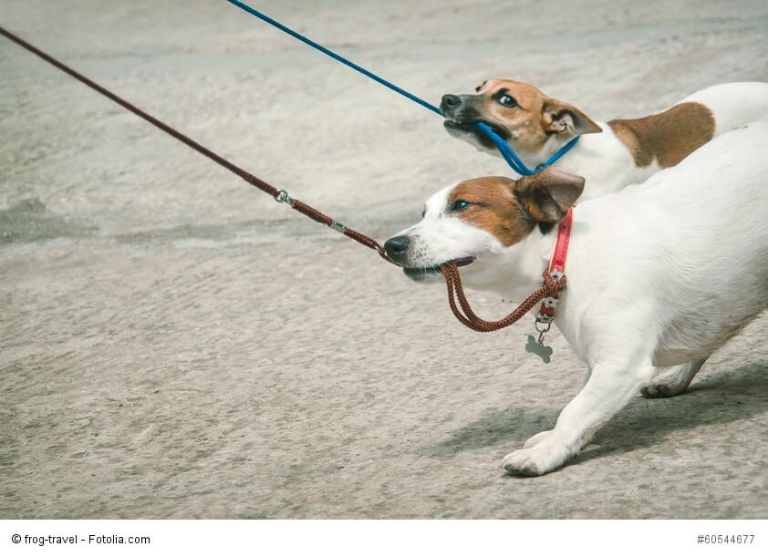 Zwei Jack Russel Terrier haben ihre Leinen im Maul und ziehen daran