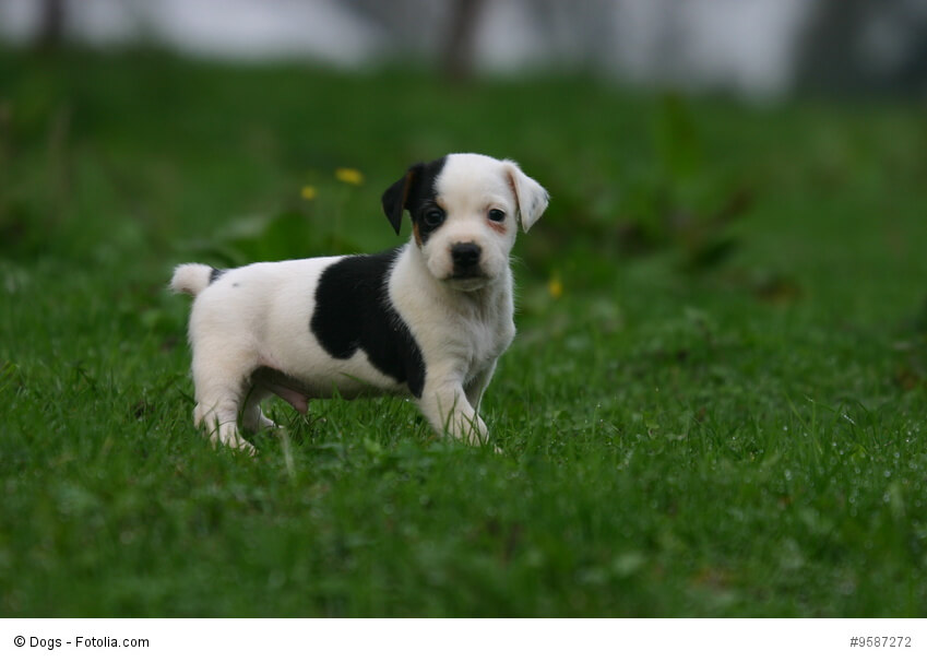 jack russell terrier steckbrief fci klasse wesen und mehr. Black Bedroom Furniture Sets. Home Design Ideas