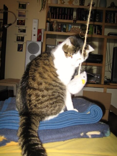 Katze schaut skeptisch auf eine Maus an einer Schnur