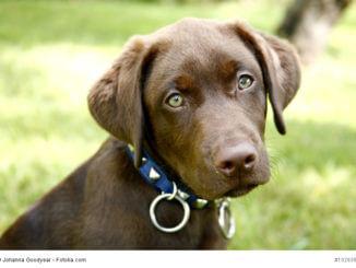 Labrador Retriever sind sehr kluge Tiere, die du regelmäßig fordern musst damit sie sich nicht langweilen