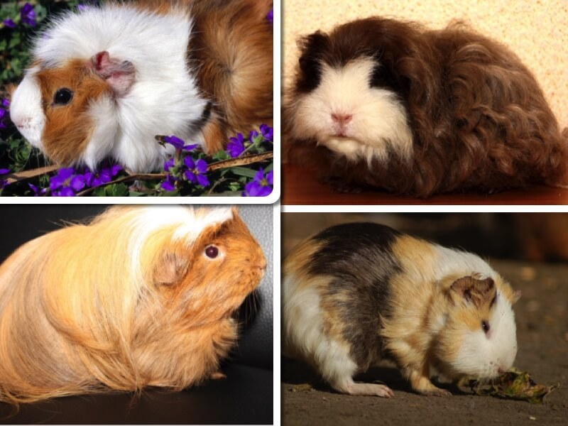 Collage aus vier Bildern mit den verschiedenen Fellvarietäten des Hausmeerschweinchens