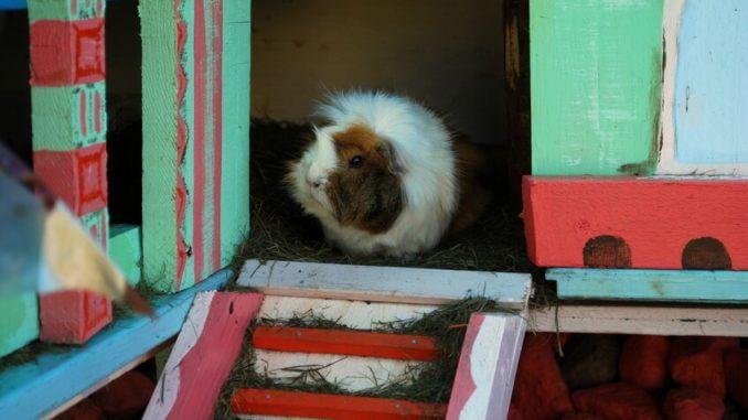 Meerschweinchen in einem Käfig-Haus