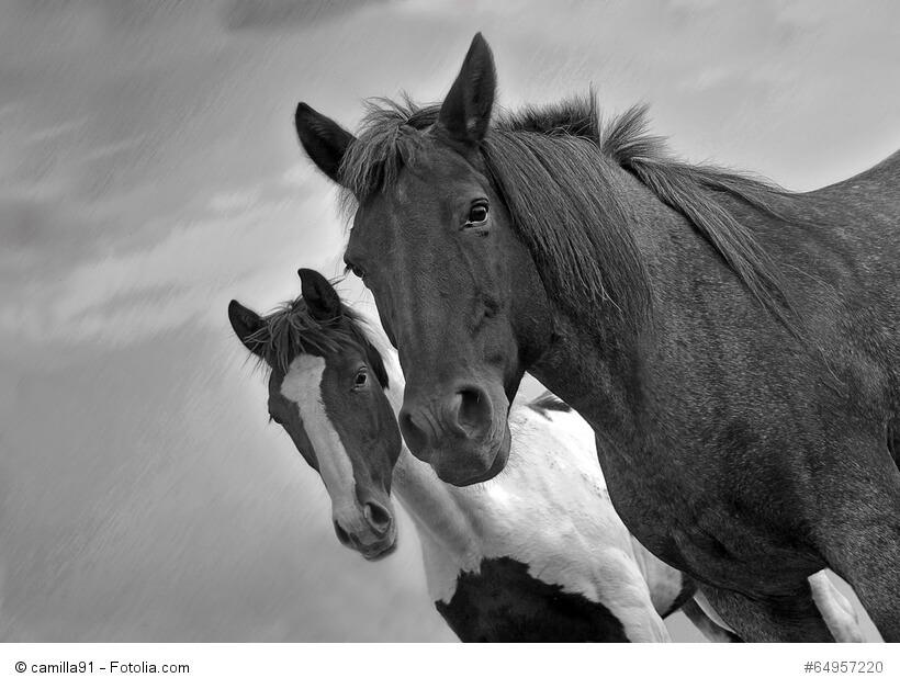 Schwarz-weiß-Bild von zwei Pferden