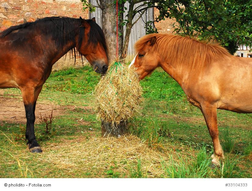 Zwei Pferde fressen an einem Heunetz