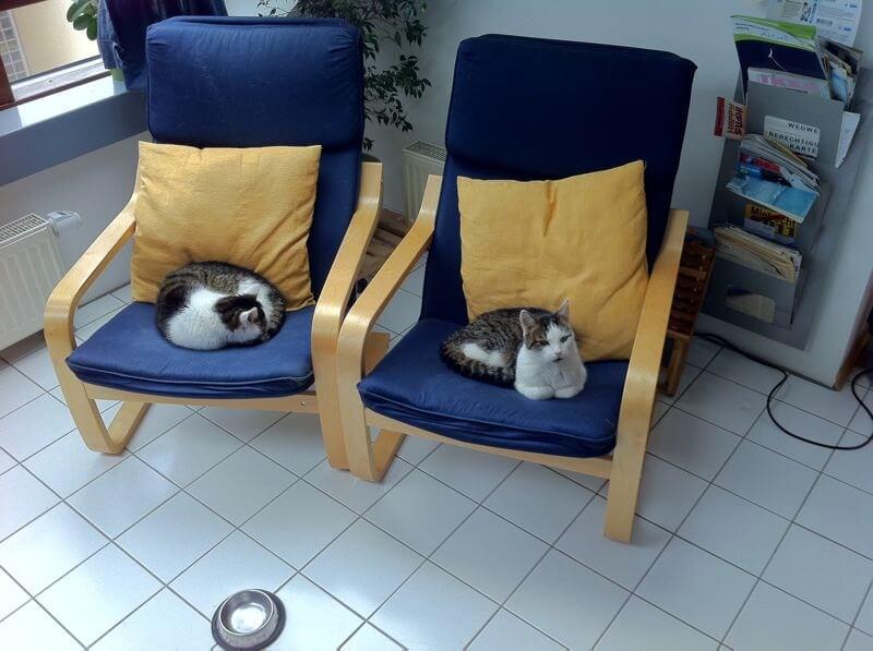Zwei Kater liegen auf blauen Schwingsesseln mit gelben Kissen